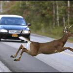 Deer-resized-600.jpg-1