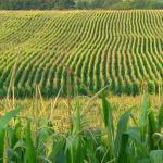 0124_rent-corn