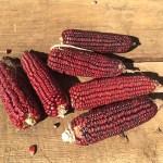 Jimmy-Red-corn