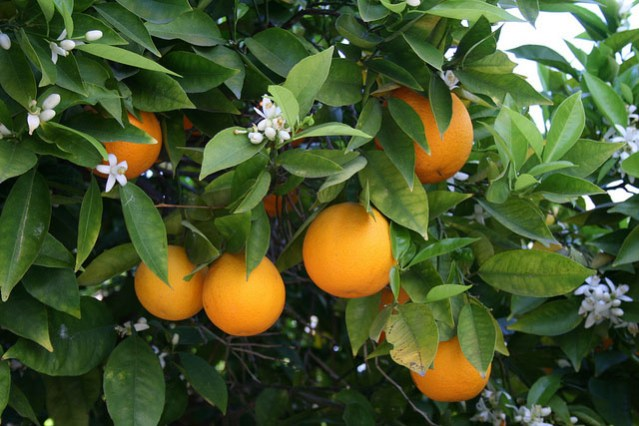 Oranges were once the local cash crop.
