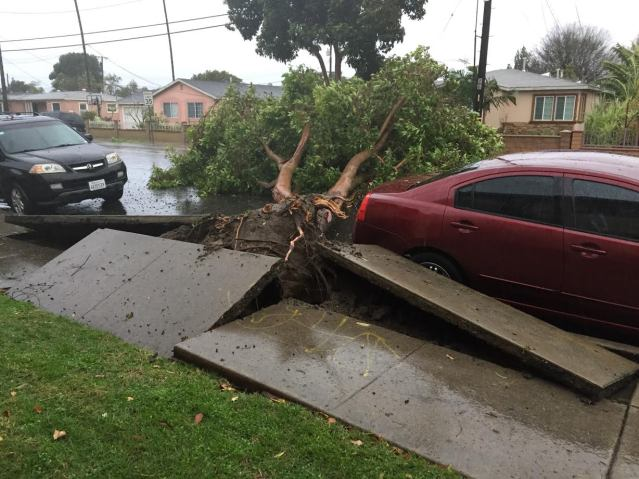 HEAVY winds Friday knocked over this tree and uprooted the sidewalk on a Garden Grove street (GGFD photo).