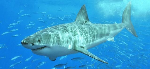 A GREAT WHITE SHARK (Wikipedia photo/Terry Goss).