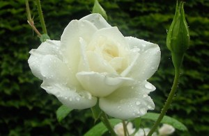 White Rose for funerals