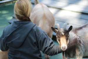A zoo volunteer interacts with the goats.