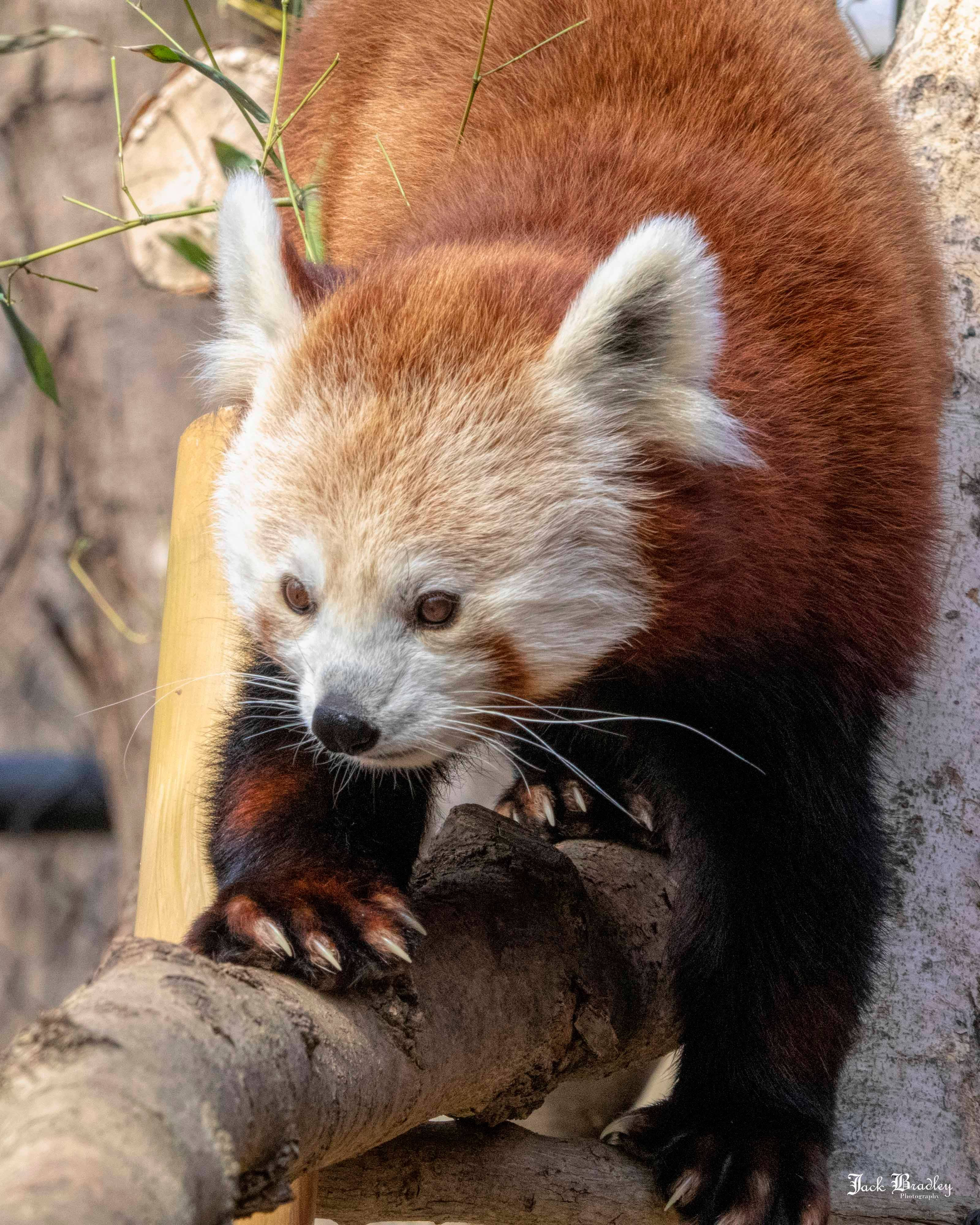 Connecticut's Beardsley Zoo Mournsthe Loss of Red Panda