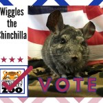 Meet The New Mayor: Wiggles the Chinchilla Wins by a Whisker