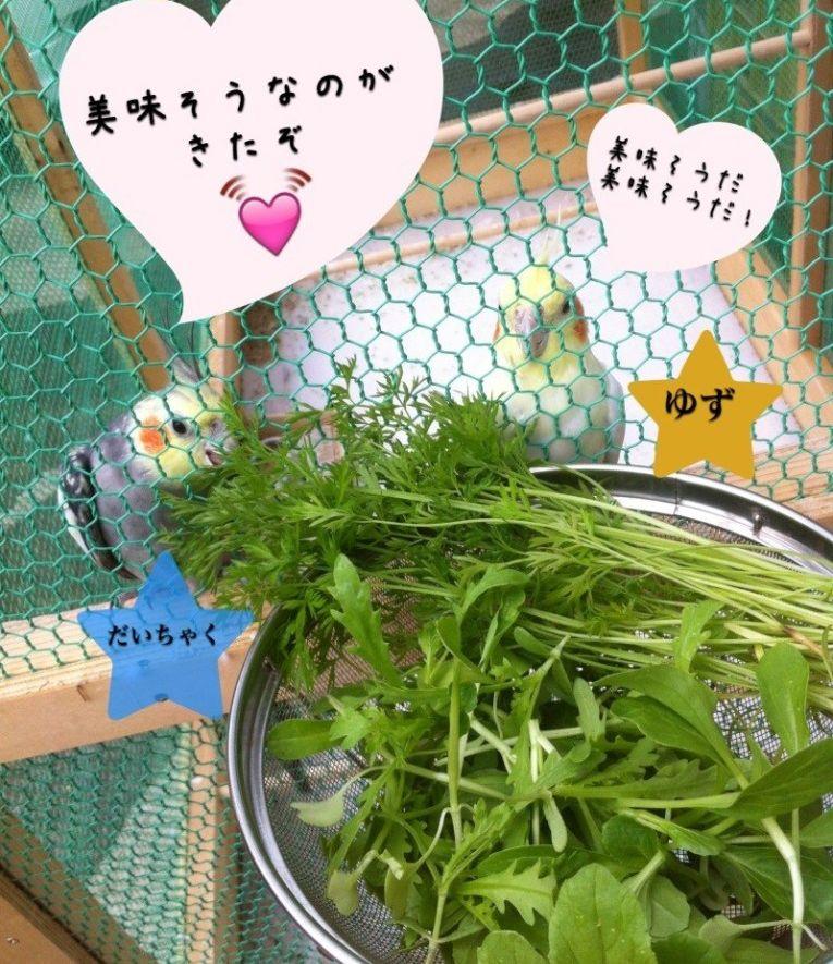 オカメインコ 野菜