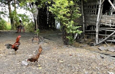 Ayam Tropodo Liar