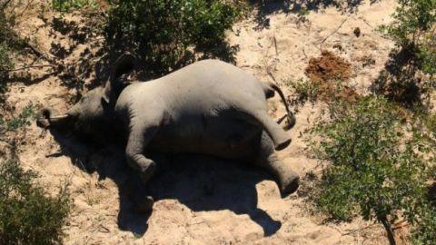 Gajah Gading Botswana