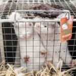 Kluster 'lima' buktikan haiwan boleh dijangkiti Covid-19, menteri Denmark silap langkah