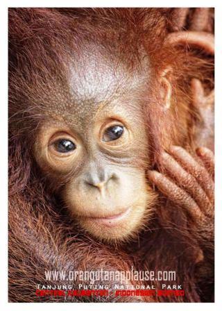 Anak Orangutan : orangutan, Facts, About, Orangutan, Orangutanapplause.com