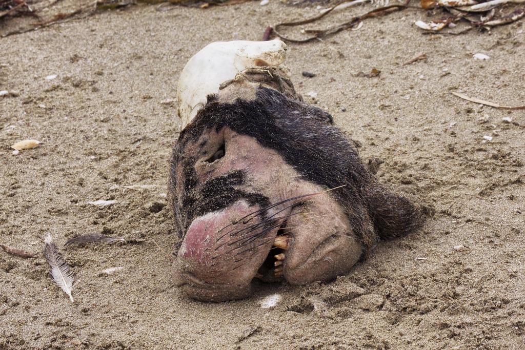 Lobo marino Pta de Choros