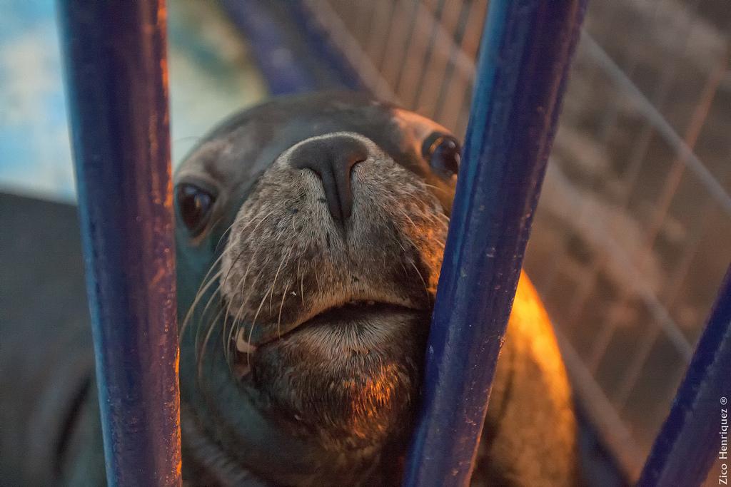 Empresa uruguaya solicita captura de lobos marinos chilenos para ser enviados a zoológicos en el extranjero