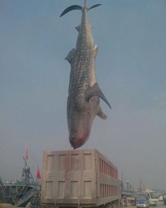 massive-shark3