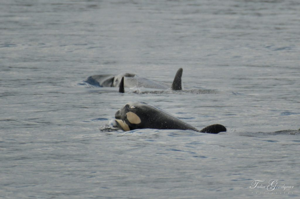 Victoria Whale Watching Report: Orcas, Humpback Whales