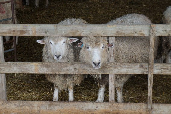 Cotswold sheep at Upper Haselor Farm