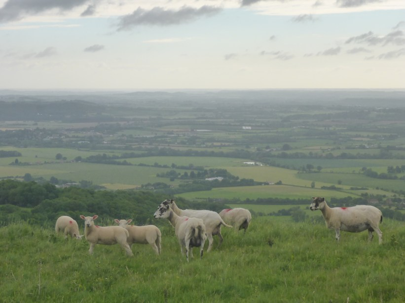 Sheep on Bredon Hill