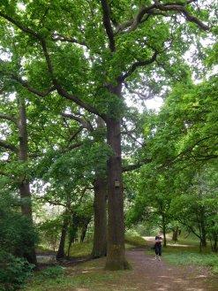 Oak woods near Osterley lock
