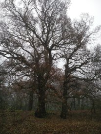 Beautiful oak trees now visible