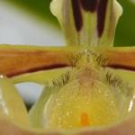 Paphiopedilum affine - orchidee 60 - macro