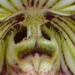 Paphiopedilum fairrieanum - orchidee 60 - macro