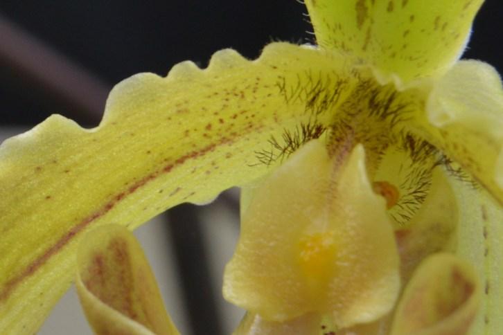 Paphiopedilum leeanum - orchidee 60 - macro