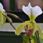 Paphiopedilum leeanum - orchidee 60
