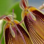 Restrepia antennifera - orchidee 60 - macro