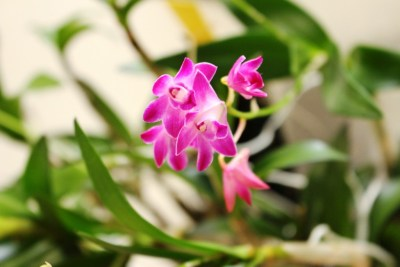 Dendrobium kingianum - orchidée 60