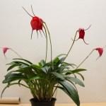 Masdevallia - orchidée 60