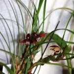 Maxilaria curtipe - orchidée 60