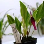 Restrepia guttulata - orchidée 60