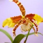 Rossioglossum grande - orchidée 60