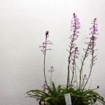 Stenoglottis - orchidée 60