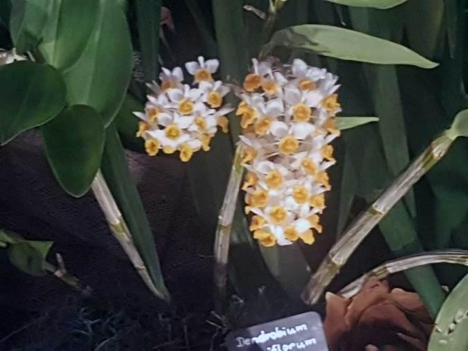 Dendrobien Pflege Orchideen Halten Und Pflegen