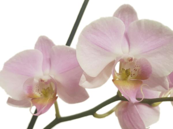 Phalaenopsis Blüten