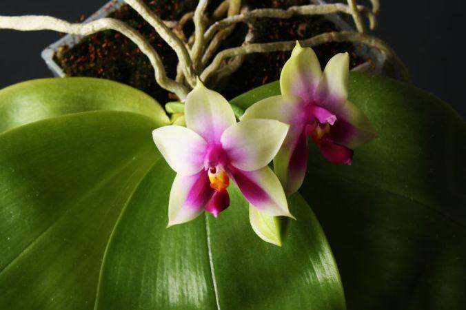 Orchideen Jungpflanzen kaufen