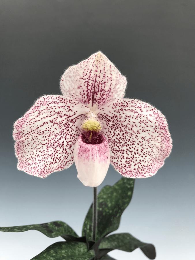 Paphiopedilum Jungpflanzen