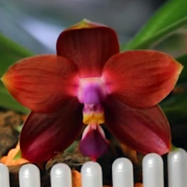 Phalaenopsis LD's Bear King RK3 Blüte
