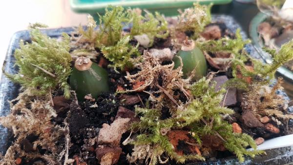 Pleionen pflanzen