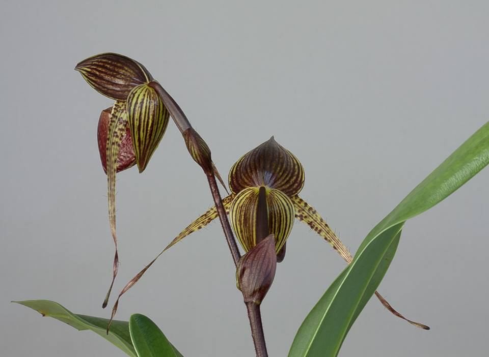 The Way Less Traveled - Paphiopedilum predacious
