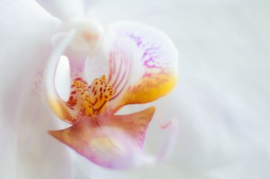 Dancing Light Orchid Essences