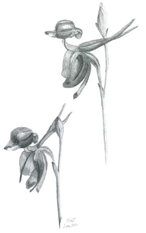 Pencil Drawing Duck Orchid