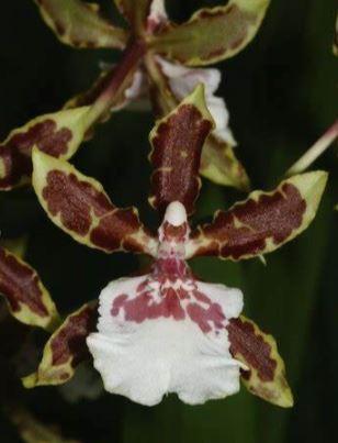 oncidium Jungle monarch