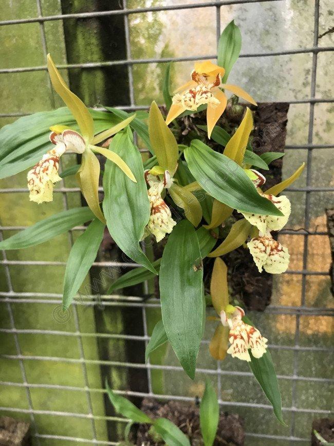 Coelogyne schilleriana  Claessen Orchids
