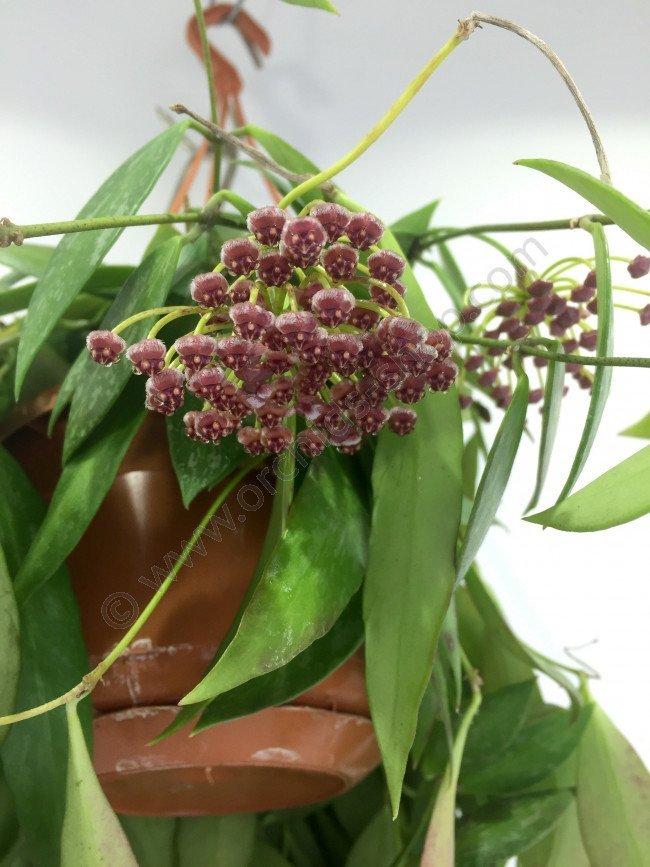 Hoya Gracilis Claessen Orchids