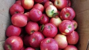 Plenty of Kiyokawa Orchard's apples and pears this Saturday.