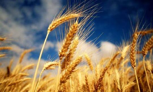 wheat10a