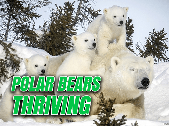 Image result for polar bears thriving