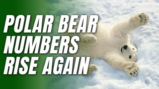 2020 Was Another Good Year for Polar Bears